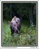 Young_Moose