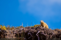 Arctic_Ground_Squirrel