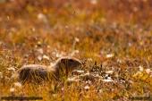 Arctic_Squirrel