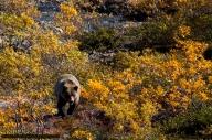 Brown_Bear_Approaching