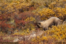 Brown_Bear_On_The_Hill