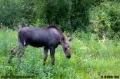 Calf_Moose