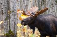 Rutting_Moose