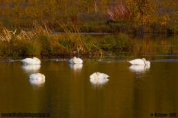 Sleeping_Swans