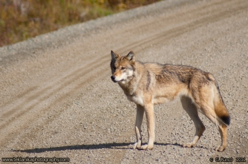 Wolf_On_Road