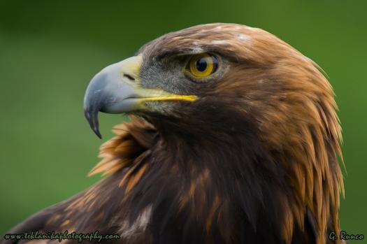 Golden_Eagle_Portrait