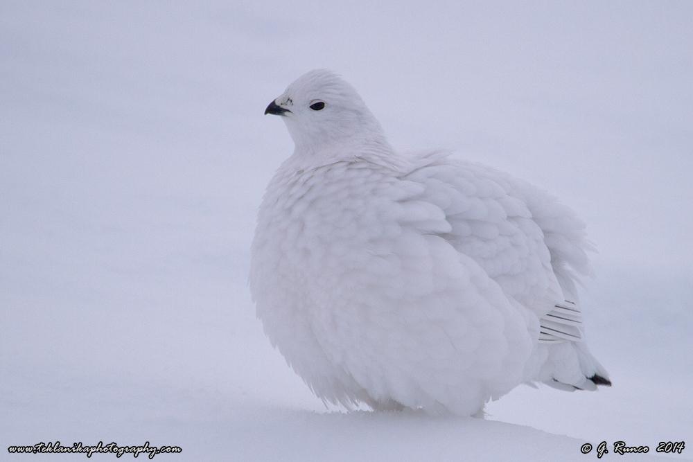 alaska bird
