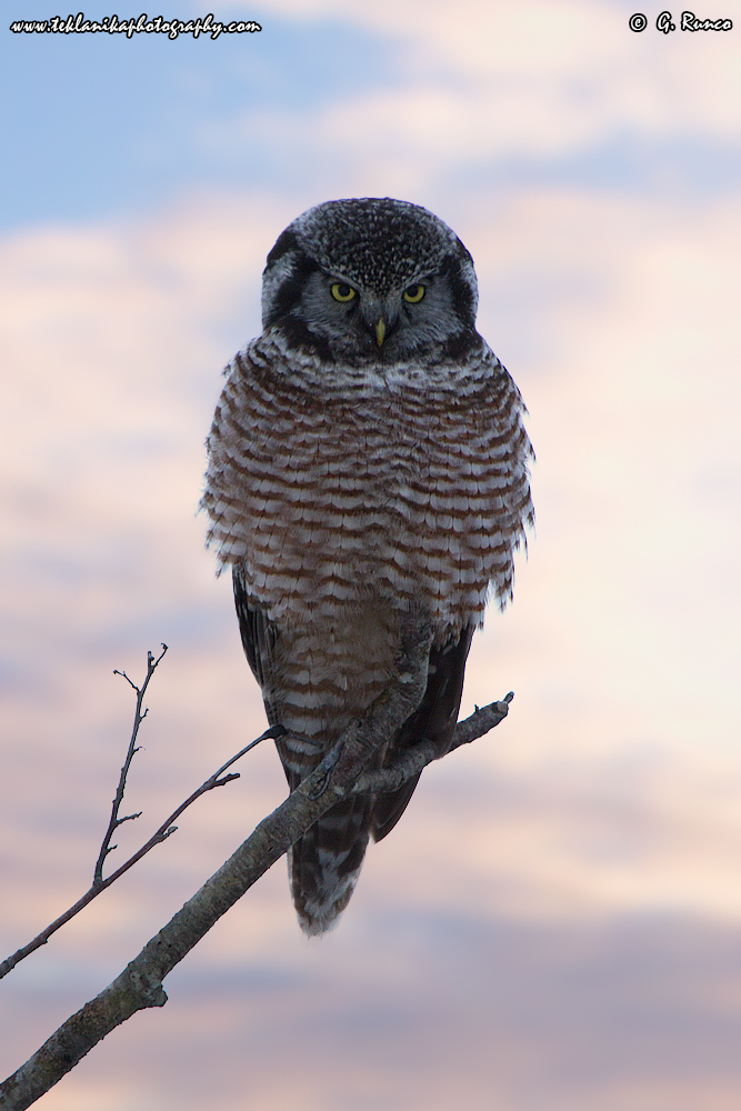 """Northern Hawk Owl"""