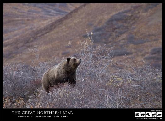 The Great Northern Bear