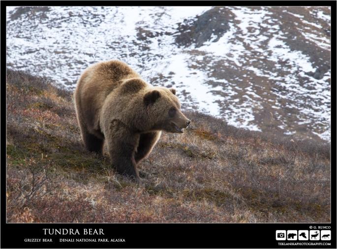 Tundra Bear