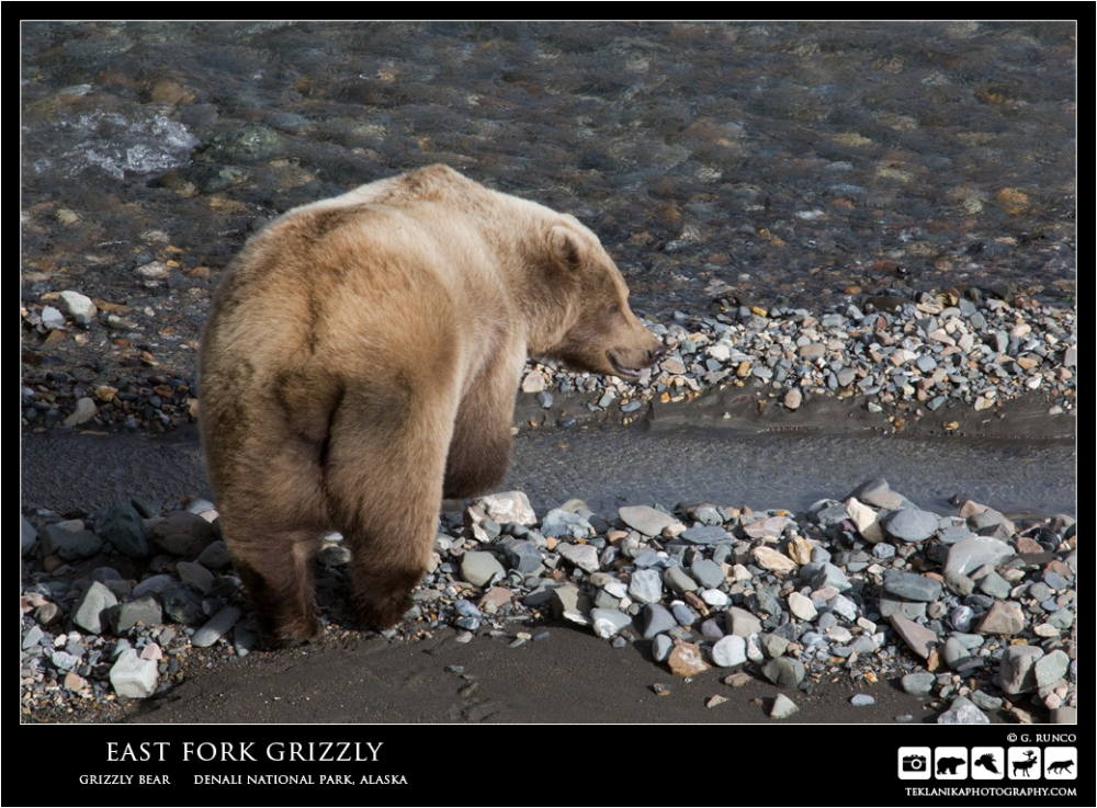 East Fork Grizzly