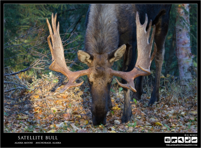 Satellite Bull