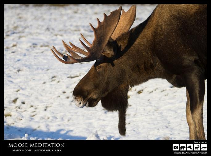 Moose Meditation