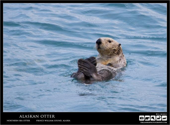 Alaskan Otter