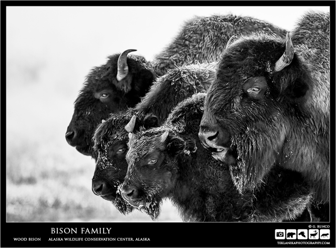 Bison Famliy