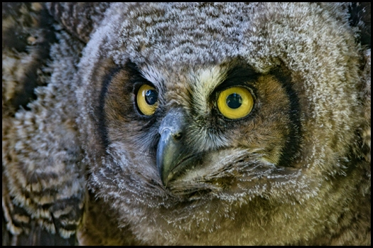 ghowlet