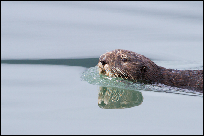 otter_in_water