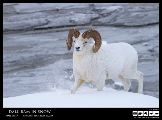 Dall Ram in Snow