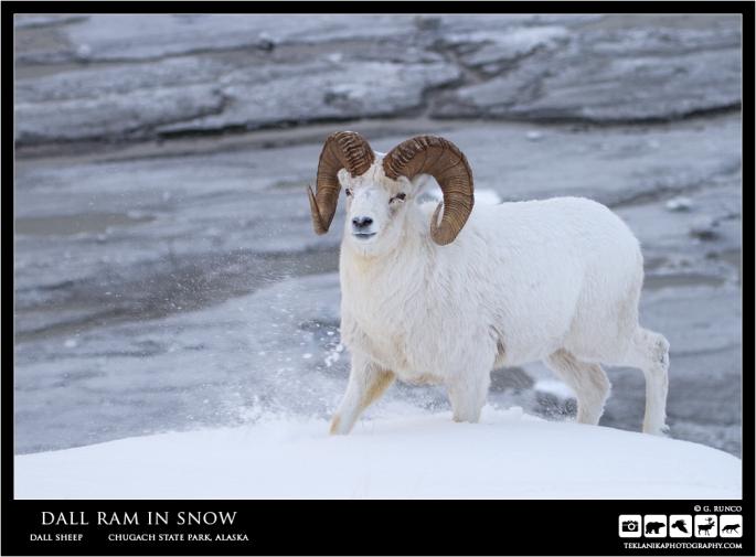 Dall Ram in Snow