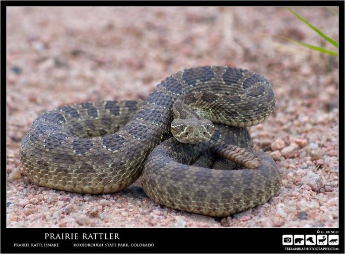 Prairie Rattler