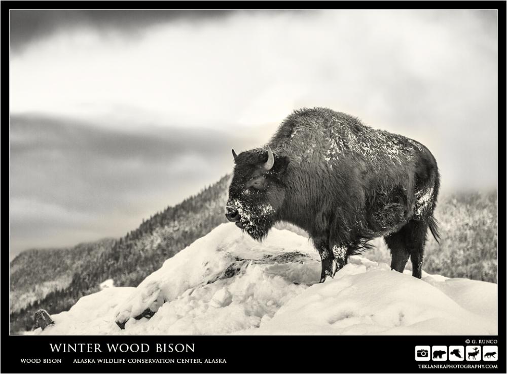 Winter Wood Bison