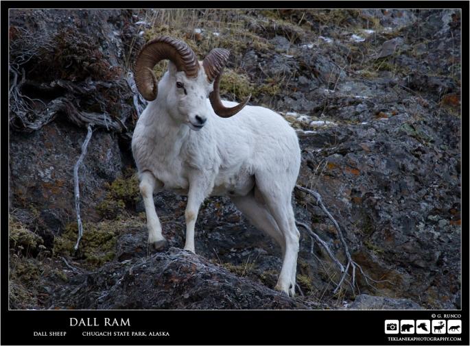 Dall Ram