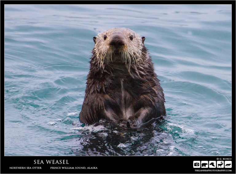 Sea Weasel