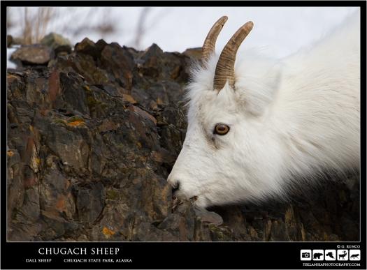 Chugach Sheep