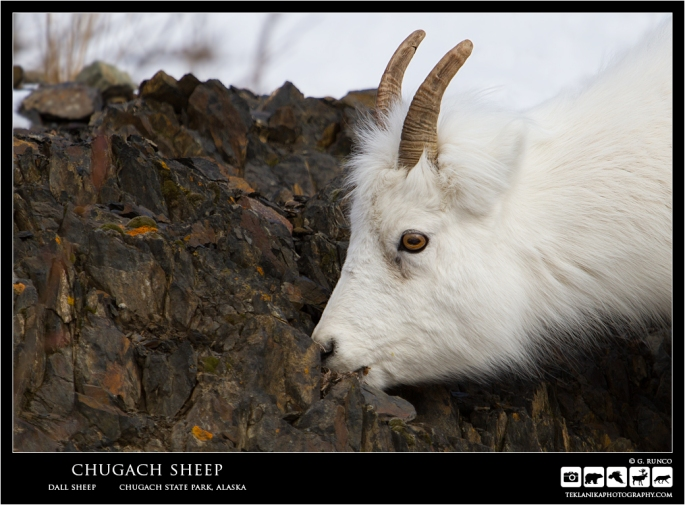 Chugach Sheep