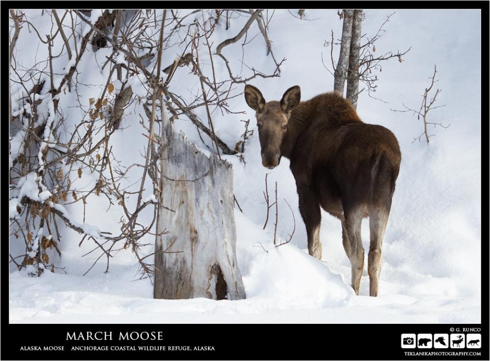 March Moose